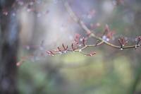 もみじの葉が出てきました - 旧軽井沢より  つるや旅館からのお便り