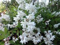 姫空木 - だんご虫の花