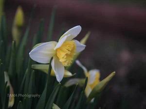 水仙が咲きました - TAMAの卵