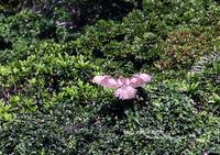 オオノスリは与那国島で4月によく見られる - THE LIFE OF BIRDS ー 野鳥つれづれ記