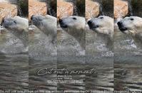 動物園とカメラと。1/2000でシロクマジャンブイさんを sony α1 + SEL70200GM 実写  #a1 #カメラ #動物写真 - さいとうおりのお気に入りはカメラで。