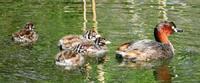 野鳥 子育ての春カイツブリヒナ誕生から2週間。 - 風の彩