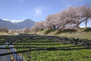 春のわさび田 -