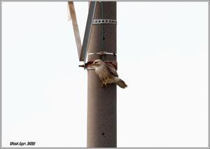 電柱のノスリが飛び出した - 野鳥の素顔 <野鳥と日々の出来事>