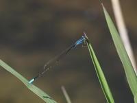 成虫越冬するトンボ - 狭山丘陵の自然 ~ ベニヒワ♪の自然観察 ~