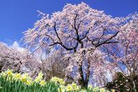 2021年の桜・・・駒ヶ根・光前寺 - ウィンパパのフォトライフ(2)