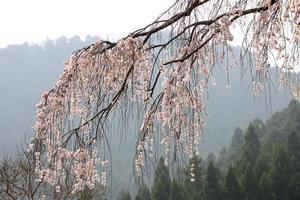 枝垂れ桜 - ネイチャーギャラリー2