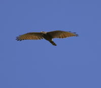 サシバ:④青空に翔たく姿2021 - バード・アイ・ライフ