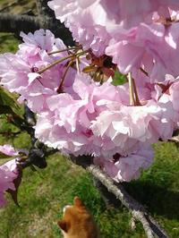 桜とabby&zack 13 - abby & zack 2