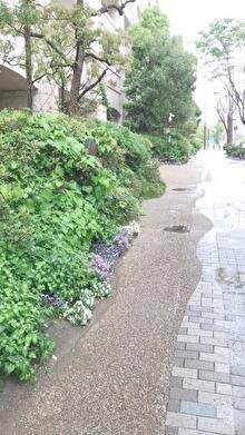 お洒落な寒色系ビオラ群とかチェリーセージホットリップスのお花とか -