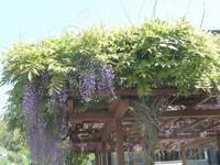 藤の花と山桜 - hibariの巣