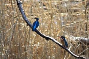 カワセミ - 北の大地の野鳥たち