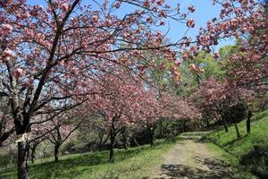 長瀞・通り抜けの桜 - 四季折々