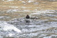 カワガラス現る!渓流の忍者か♪吹割の滝・片品川 - 『私のデジタル写真眼』