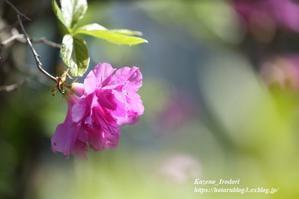 4月末の我が家の庭 #1 躑躅(ツツジ)など  - 風の彩りー3