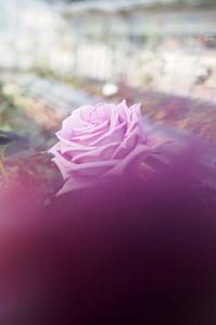 薔薇 - さぬき風花