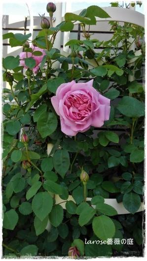 'メアリーローズ'が咲き出して - La rose 薔薇の庭