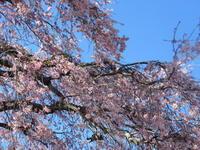 軽井沢の桜・2021 * プリンス通りの紅枝垂れ桜が満開 ~ 矢ヶ崎公園はもう少し♪ - ぴきょログ~軽井沢でぐーたら生活~
