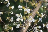 森の桜210405 - 万願寺通信