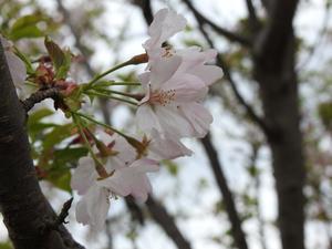 『今年出逢った100種を超す桜達(1~16)』 - 自然風の自然風だより