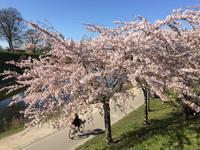 異国の桜 - のんびりgoing マイway
