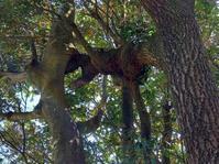 通りがかりに見つけたクヌギが凄い。洞に捲れに、木がめり込む...クワガタ居るでしょ! - くわがた散歩道