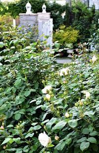 バラの1番花が咲きました。 - バラとハーブのある暮らし Salon de Roses