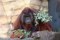 ボルネオオランウータンのスカイウオークと感染対策中のユキヒョウ舎(多摩動物公園 June 2020) - 続々・動物園ありマス。