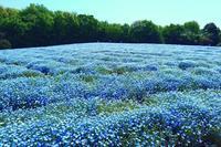 青の衝撃! ブルーファンタジー♪・・・満開のネモフィラ♪ 国営武蔵丘陵森林公園 - 『私のデジタル写真眼』