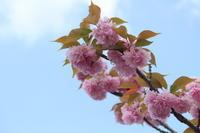 八重桜 - 猪こっと猛進