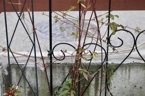 クレマチスの誘引 - my small garden~sugar plum~