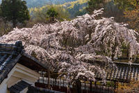 2021桜咲く京都 十輪寺のなりひら桜 - 花景色-K.W.C. PhotoBlog