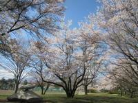 御代田・雪窓公園 * 桜は満開を過ぎました♪ - ぴきょログ~軽井沢でぐーたら生活~