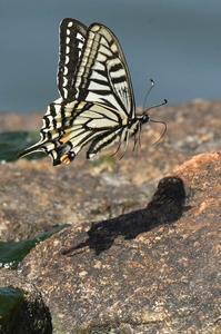 アゲハ・・・飛翔 - 続・蝶と自然の物語
