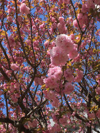 八重桜 - まいにちノート(2冊目)