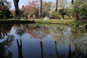 ハナミズキの水鏡・コゲラ・カワセミ - 四季折々