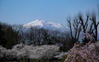 桜、楽しんできました - へっぽこな・・