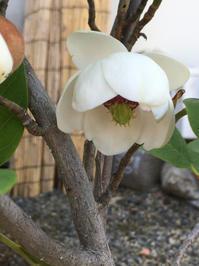 風炉の王様の花と言われている大山蓮華が咲いた。 - 茶道 松山市 茶道教室 日常の出来事と稽古