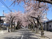 桜前線函館上陸 - 函館マラソンを走る
