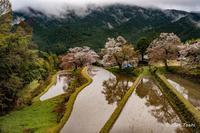 三多気の桜 - toshi の ならはまほろば