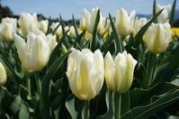 チューリップ便り8(白い花) - きょうから あしたへ その2