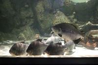 しながわ水族館「世界の大河から」②~コロソマたちは真ん前に集う(August 2020) - 続々・動物園ありマス。