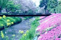 芝桜♪ - 湘南気まま生活♪
