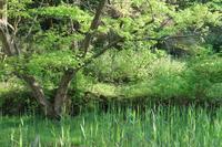 葦の新芽 - 木洩れ日 青葉 photo散歩