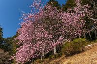 2021桜咲く滋賀夢の桜咲く石山寺 - 花景色-K.W.C. PhotoBlog