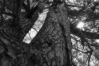 樹〜モノクローム〜 - 一山百楽