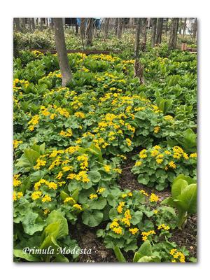 春一番に咲く野草たち - 雪割草 - Primula modesta -