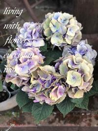 パープルシルバー紫陽花 -  Flower and cafe 花空間 ivory (アイボリー)