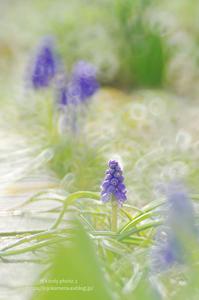 忘れられた3月の花たち -ムスカリ- - It's only photo 2