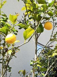 ご近所の散歩でレモン! - Petit à petit(プチ・タ・プチ)